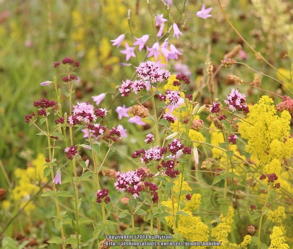 Photo of Oreganos (Origanum vulgare) uploaded by bonitin