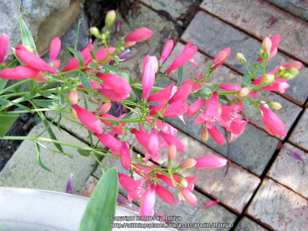 Photo of Penstemon Riding Hood Red uploaded by Marilyn