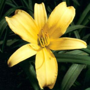 Photo Courtesy of American Daylily and Perennials. Used With Perm