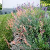 Location: My garden in Northern KYDate: 2014-07-25Love this Agastache!