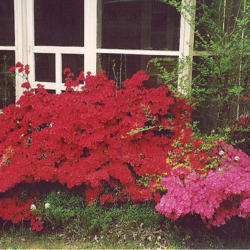Azalea: Spectacular Shrub of the South