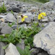 Location: Pocaterra Ridge, Kananaskis Country, Alberta; alpine talus.Date: 2014-07-19