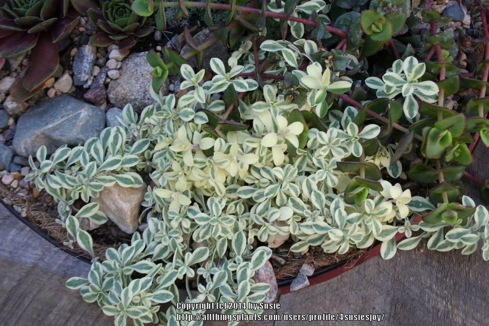 Photo of Variegated Sea Campion (Silene uniflora 'Druett's Variegated') uploaded by 4susiesjoy