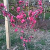 Location: Silver Spring, MDDate: 2014-04-13This is a peach tree ID'd as 'Green Leaf Patio Dwarf'. It bears r
