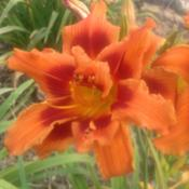 Location: O'Bannon Springs Daylilies, Nashport OHAfternoon sun shot