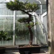 Location: Krohn conservatory, Cincinnati OHBonsai tree