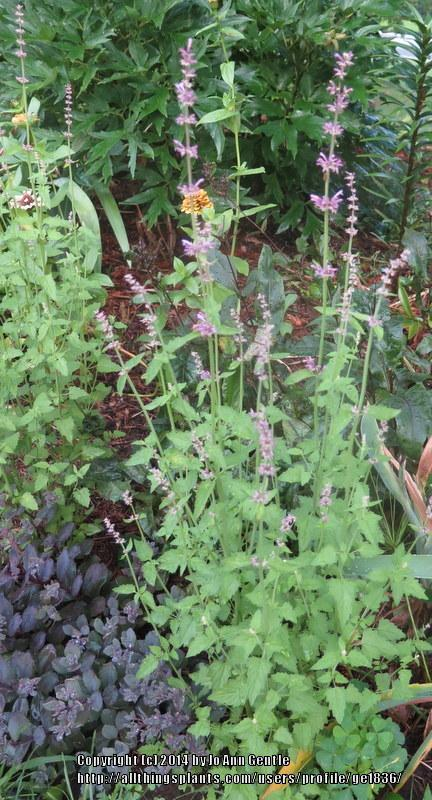 Photo of Anise Hyssop (Agastache pallidiflora subsp. neomexicana 'Pink Pop') uploaded by ge1836