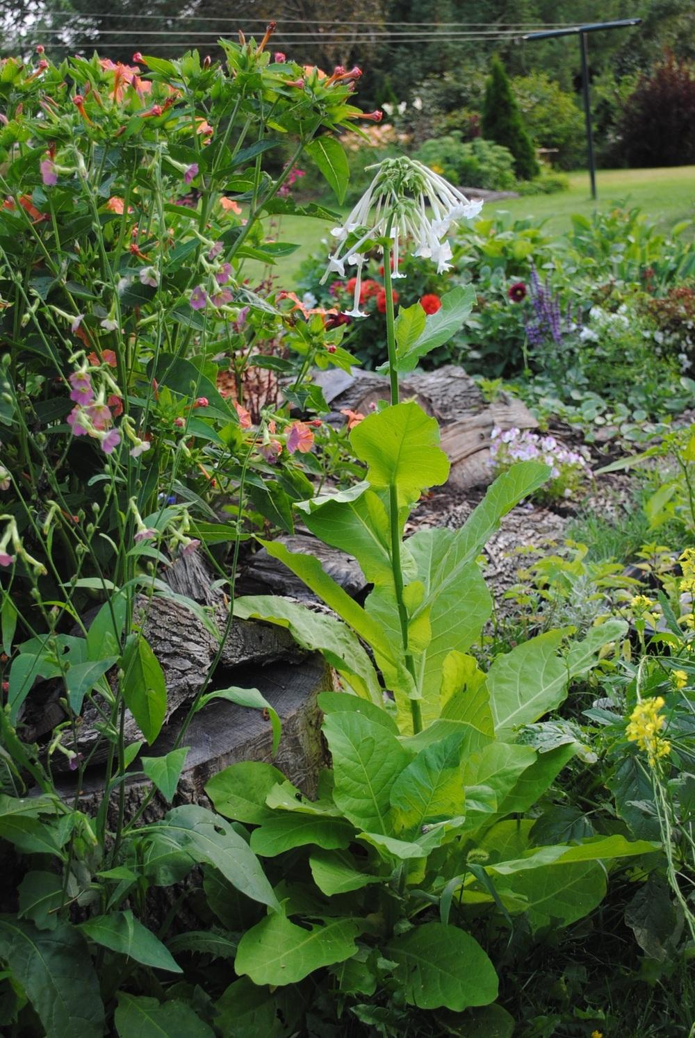 Photo of Woodland Tobacco (Nicotiana sylvestris) uploaded by chelle