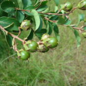 Location: zone 8 Lake City, Fl.Date: 2014-07-22immature seed pods