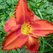 Location: My Garden- VermontDate: 2014-07-29SDLG. 'PUT IN BAY'  X  FIREBIRD SUITE - FFOE