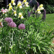 Location: Terrace garden right sideDate: 2014-07-30Farthest back. Blooming with tall bearded irises and al