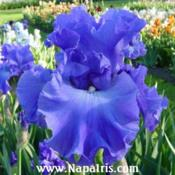Date: 2003-05-12Photo courtesy of Napa Country Iris Garden
