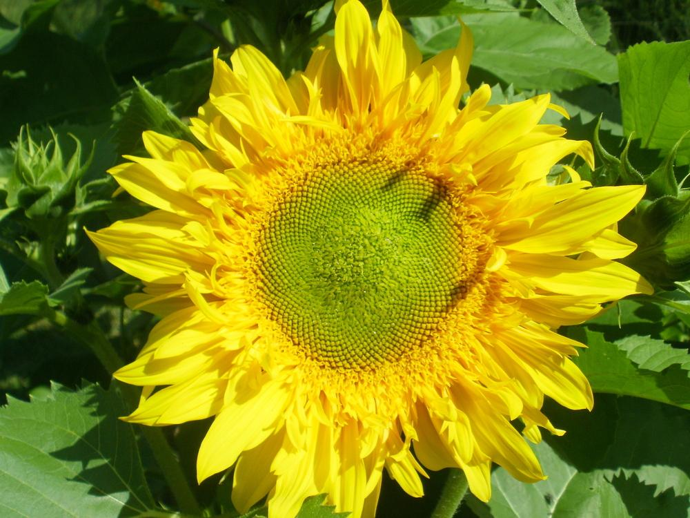 Photo of Sunflower (Helianthus annuus 'Greenburst') uploaded by bramedog