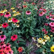 Location: Medina, TNDate: July 30, 2014Display of Echinacea 'Cheyenne Spirit' from seeds with excellent