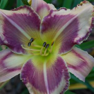 Photo Courtesy of Natural Selection Daylilies. Used with Permissi