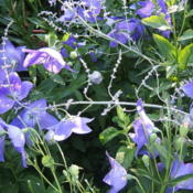 Location: montana grandiflora gardenDate: 2006-0714Combines very nicely with Russian Sage.