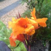 Location: The garden at SanabriaDate: 2014-08-02First year with Cannas, very nice flower, though the colour needs
