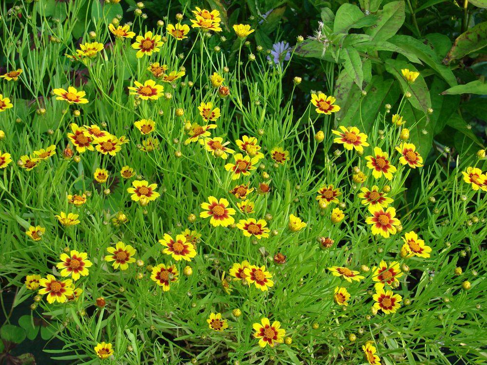 Photo of Tickseed (Coreopsis 'Gold Nugget') uploaded by Joy