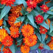 Location: Medina, TNDate: July 2014Zinnia Double Zahara Fire in full bloom.