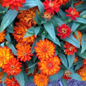 Zinnia Double Zahara Fire in full bloom.