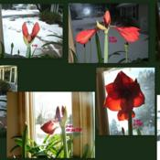 Location: Kitchen windowDate: 2011-0118 TO 0122Collage showing how the amaryllis opens day by day.