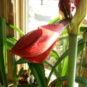 Location: Kitchen windowDate: 2011-0120About to burst open.