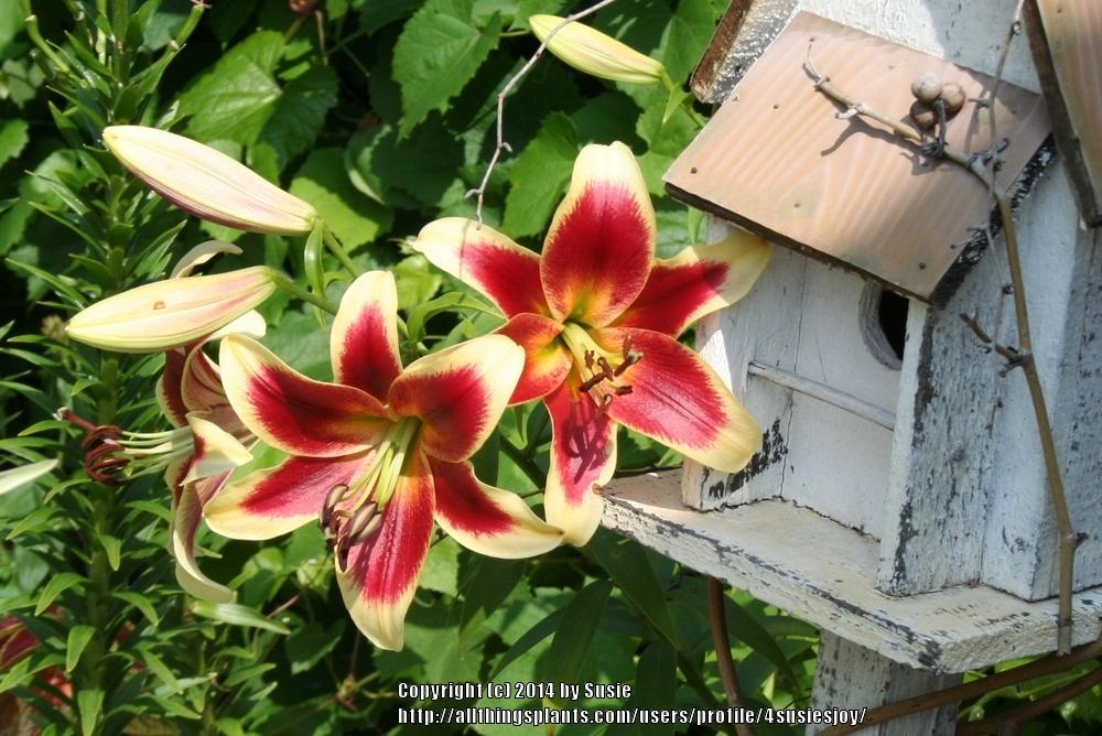 Photo of Lily (Lilium 'Red Dutch') uploaded by 4susiesjoy