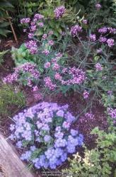 Thumb of 2014-08-03/Catmint20906/b8ba15