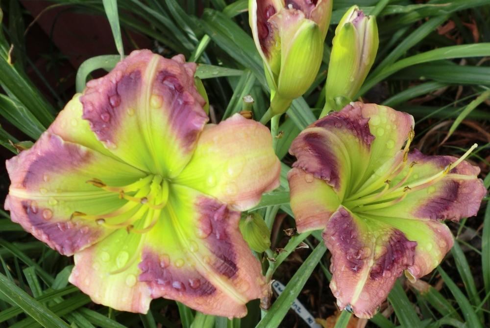 Photo of Daylily (Hemerocallis 'Green Rainbow') uploaded by Ditchlily