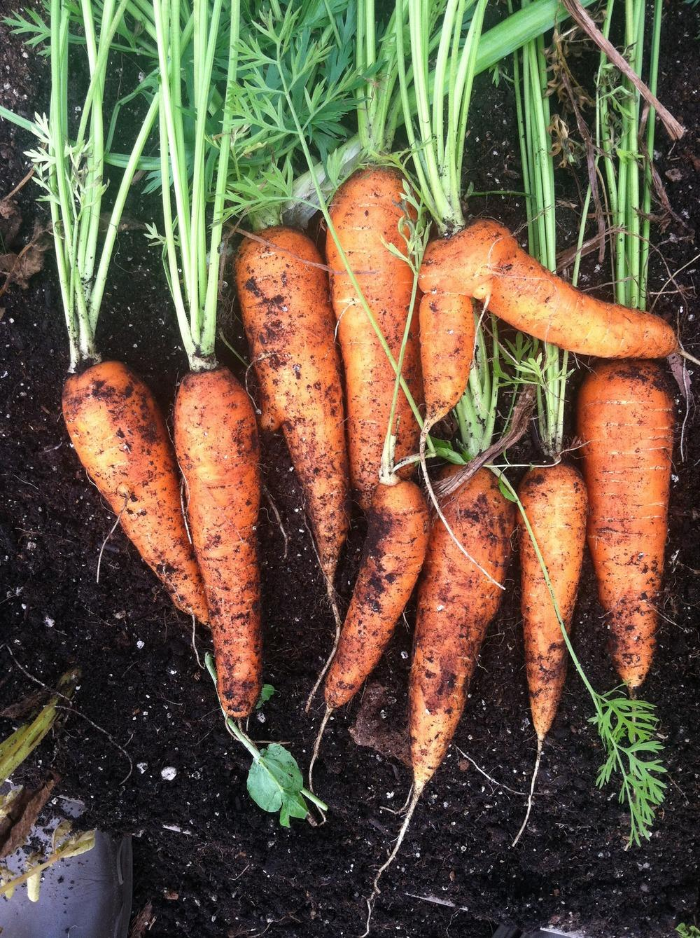 Photo of Carrot (Daucus carota subsp. sativus 'Romance') uploaded by Anderwood