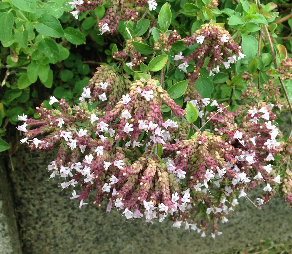 Marjoram bloom
