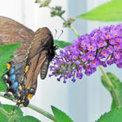Location: My GardensDate: August 4, 2014Always Attractive To Butterflies #Pollination #Butterfl