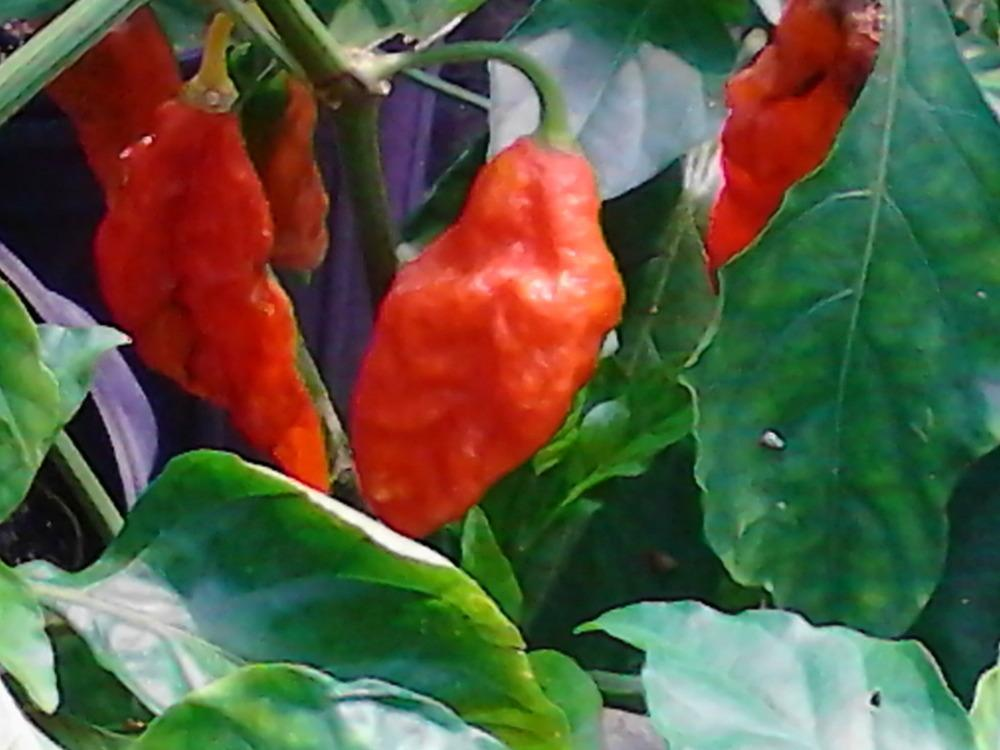 Photo of Bhut Jolokia (Capsicum sinense) uploaded by cycadjungle