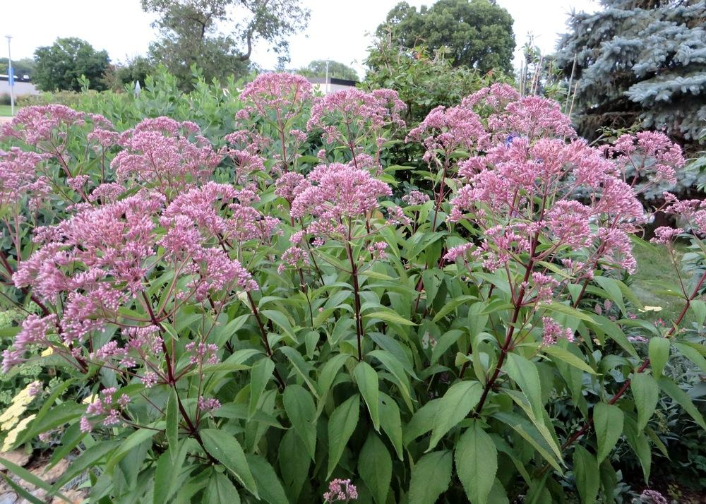 Joe Pye Weed Plant Care And Collection Of Varieties