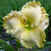 "Location: My Garden- VermontDate: 2014-08-05Magnificent 8"" bloom on off white bloom with green eye"
