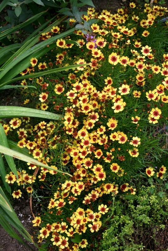 Photo of Hybrid Tickseed (Coreopsis 'Pineapple Pie') uploaded by Calif_Sue