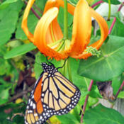 Location: My GardensDate: August 6, 2014Close Up View In Overcast #Pollination #Butterflies #Lilium