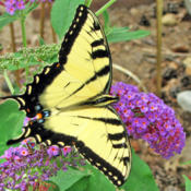 Location: My GardensDate: August 6, 2014Close Up In Mild Sunlight #Pollination & # Butterflies