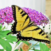 Location: My GardensDate: August 6, 2014True To Its Name #Pollination #Butterflies