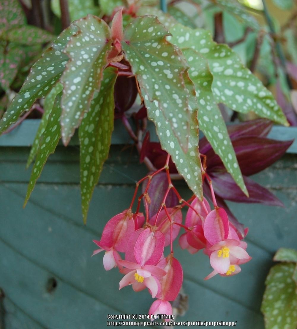 Photo of Dwarf Trout Leaf Begonia (Begonia 'Medora') uploaded by purpleinopp