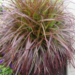 How Can I Make Sure Purple Fountain Grass Will Come Back