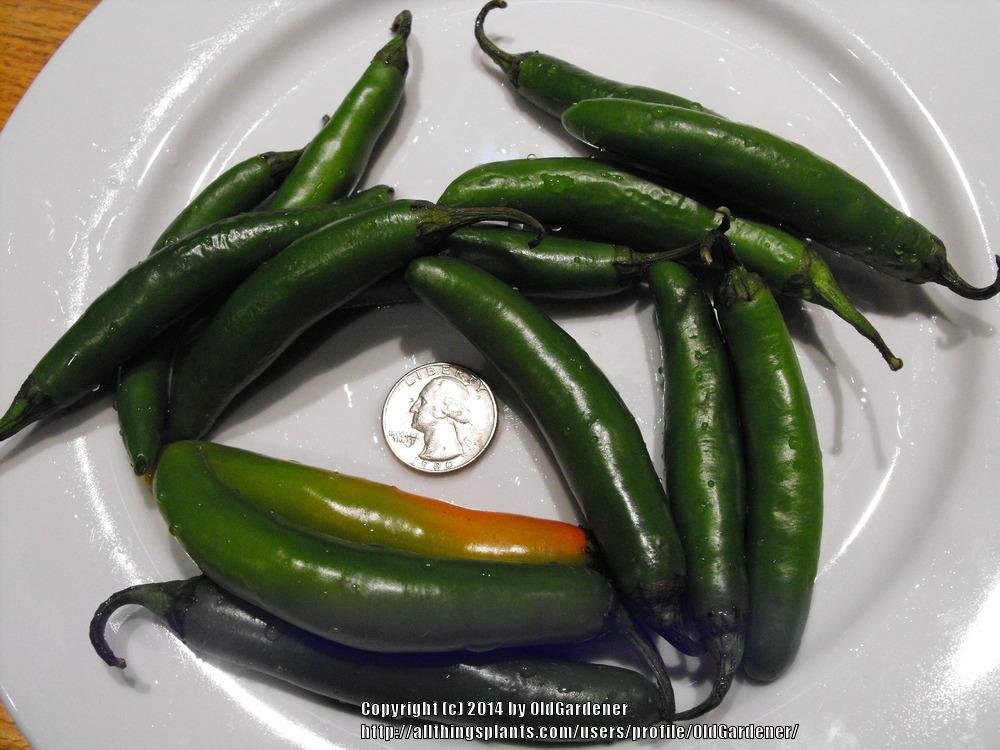 Photo of Hot Pepper (Capsicum annuum 'Serrano') uploaded by OldGardener