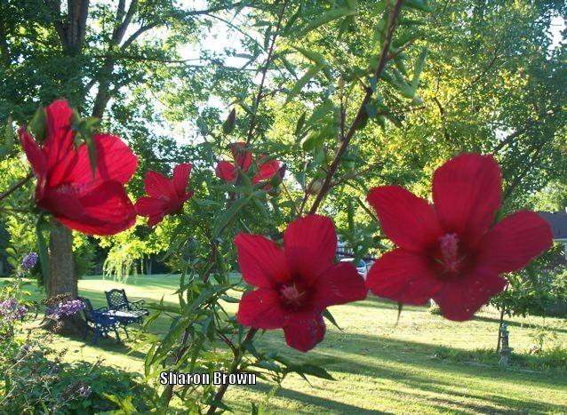Photo of Texas Star (Hibiscus coccineus) uploaded by Sharon