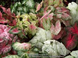 Thumb of 2014-08-09/caladiums4less/167685