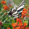 #Pollination  Asclepias tuberosa and Zebra Swallowtail Butterfly