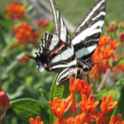 Location: Medina, TNDate: 2014-02-22#Pollination  Asclepias tuberosa and Zebra Swallowtail Butterfly
