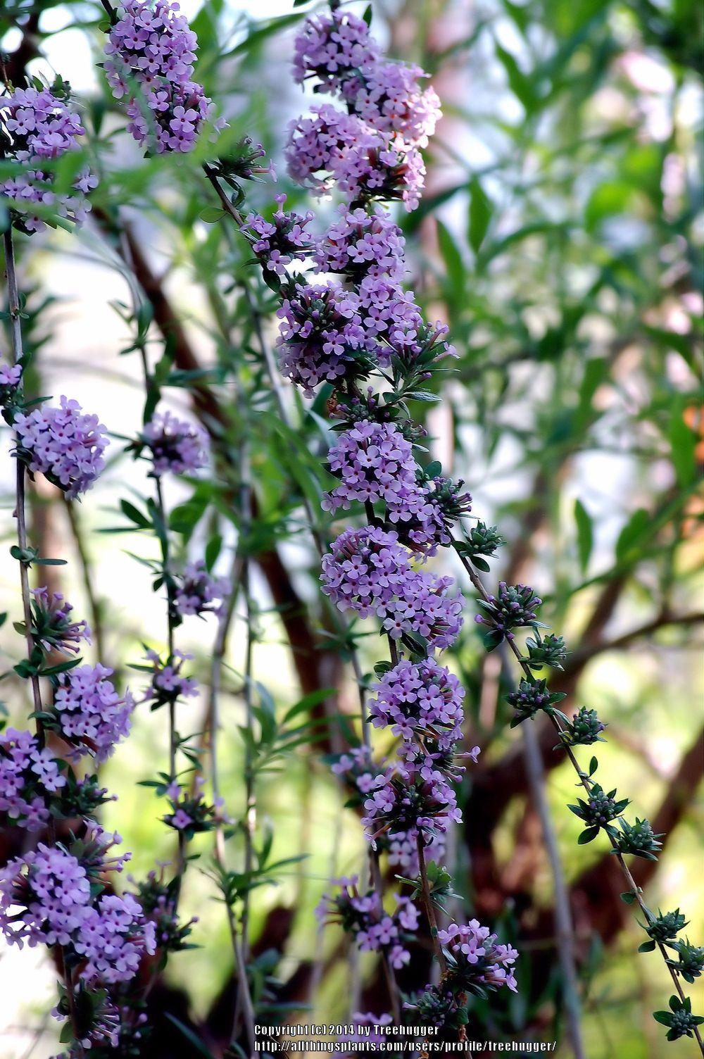 Butterfly Bushes Plant Care And Collection Of Varieties