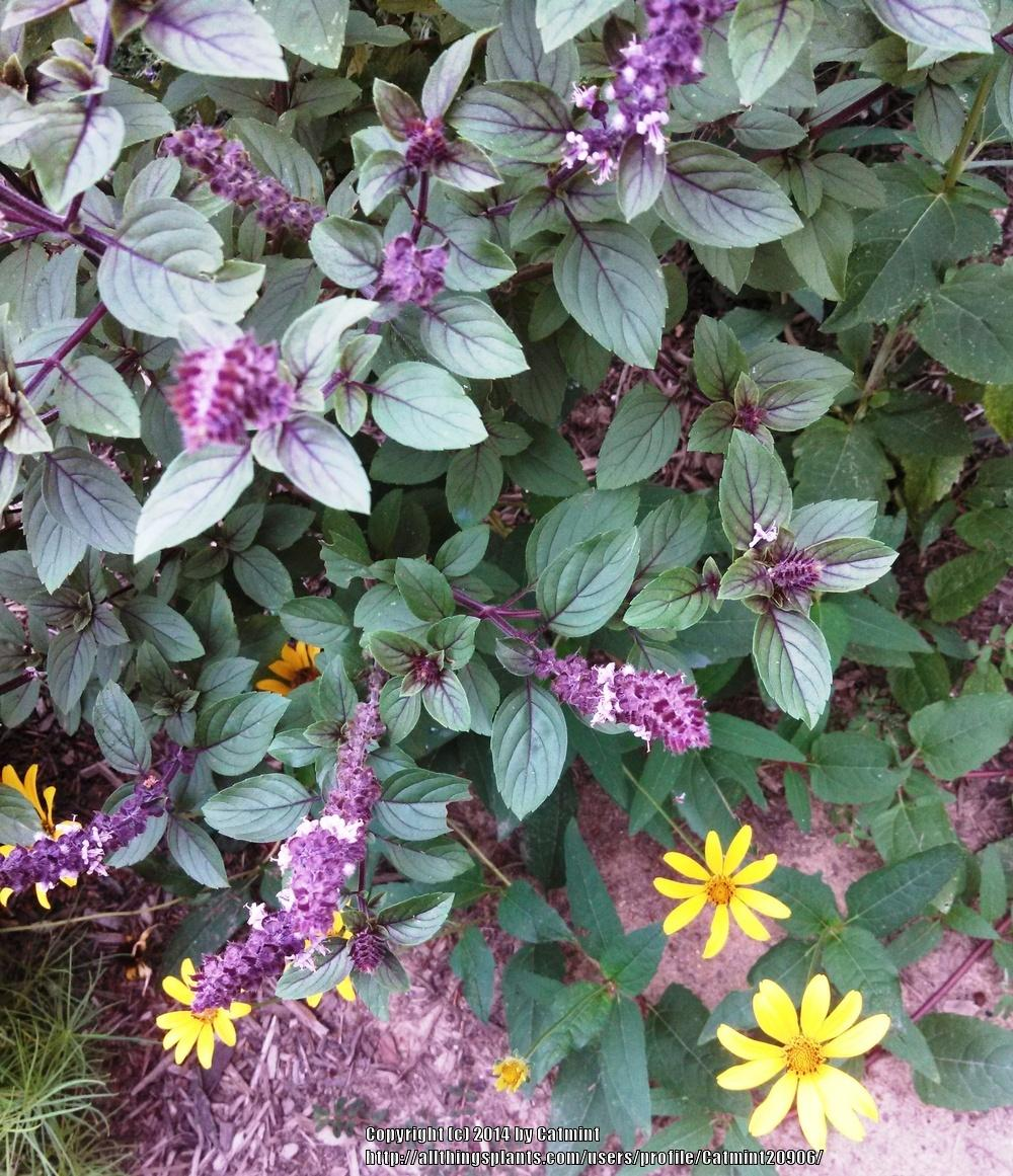 Photo of African Blue Basil (Ocimum 'African Blue') uploaded by Catmint20906