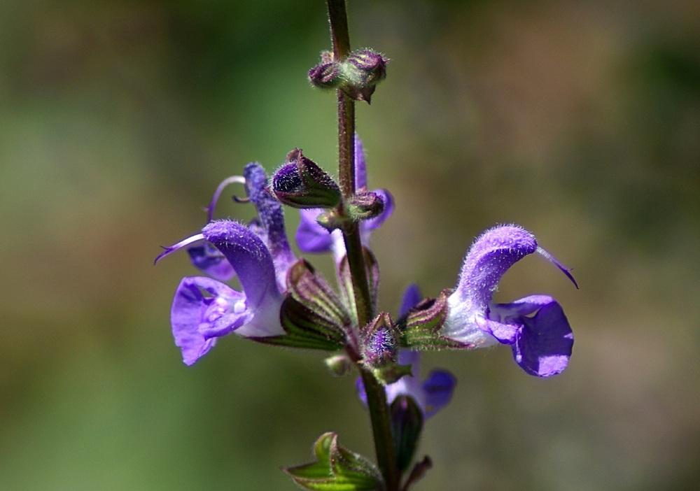 Photo of Salvia (Salvia dumetorum) uploaded by dirtdorphins
