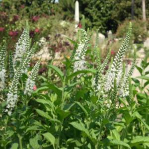 Spike speedwell veronica spicata white icicles in the veronicas image mightylinksfo